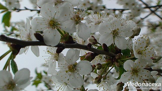 Медоносные растения и их пыльца.