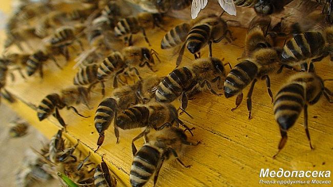 Как обработать пчелу на зиму от клеща.