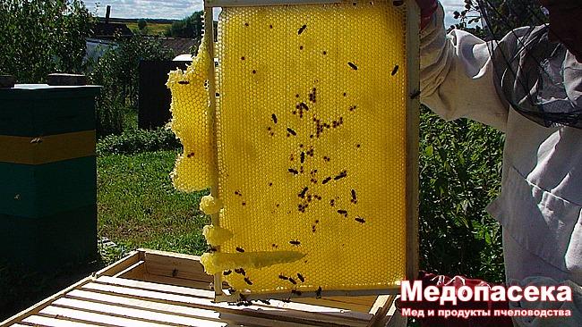 Порода пчел, которую нельзя определить.