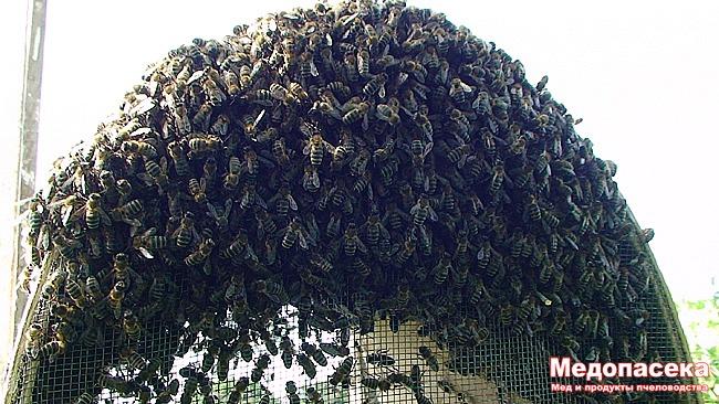 Как поймать пчелу